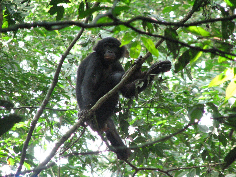 Bonobo in Tree