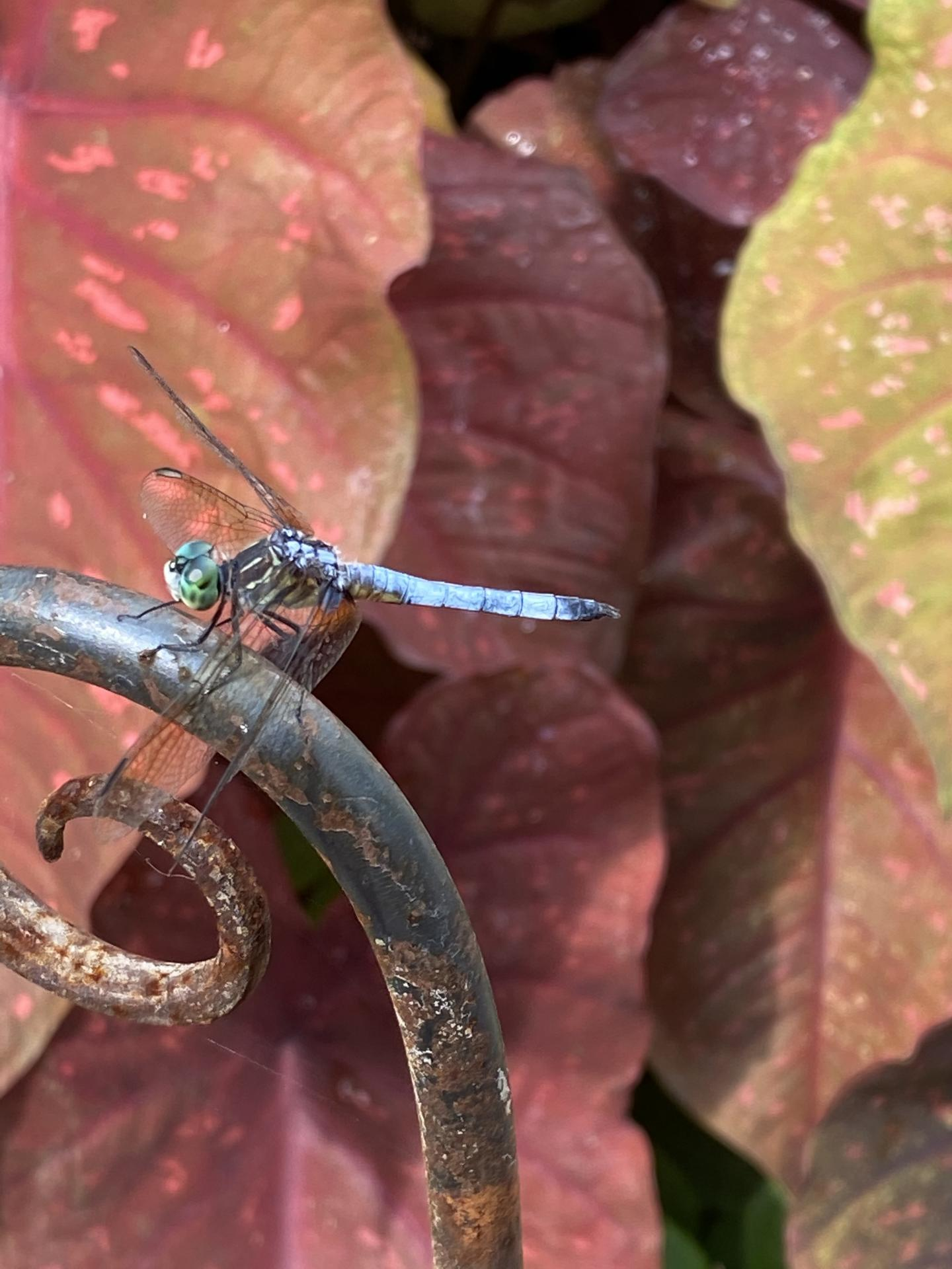 An adult male blue dasher