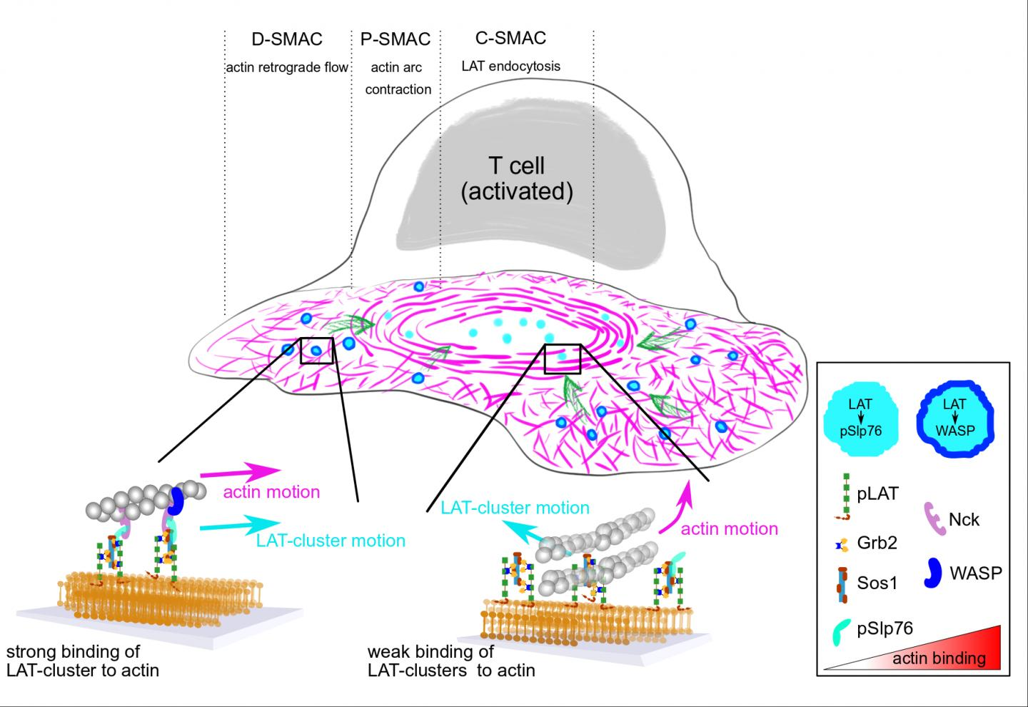Schematic Depicting the Molecular Clutch that Is in Action during T Cell Activation