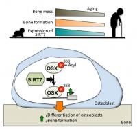 The Mechanism of Bone Formation Control by SIRT7
