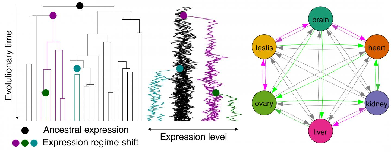 Evolution of Gene Expression in Vertebrates