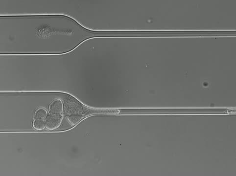 CTC Cluster Unfolds to Pass Through Capillary-Sized Constriction