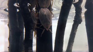 Male Japanese Appasus japonicus and a continental female