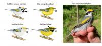 Warbler hybrid matched trait diagram