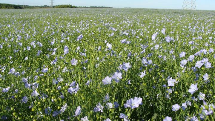 The Flax Wilt Agent Has Been Sequenced