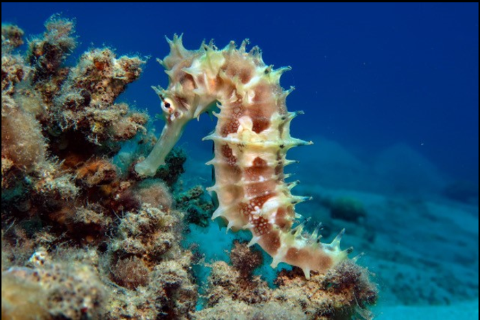 A short-snouted seahorse clinging to coral in the Red Sea.