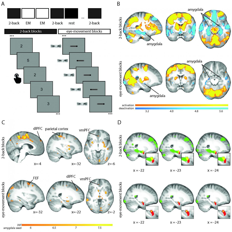 EMDR Suppresses Amygdala