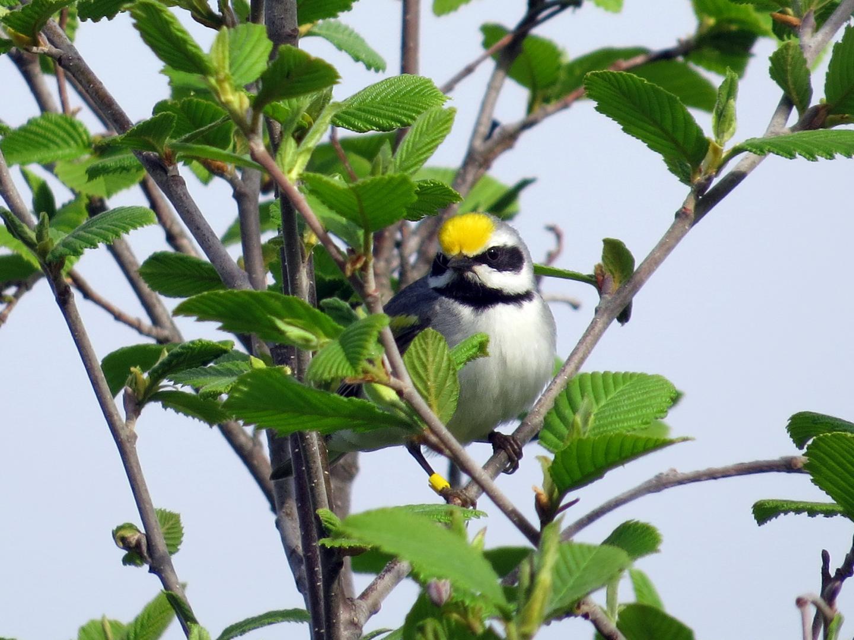 The Golden-Winged Warbler