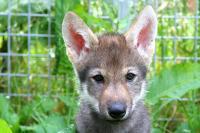 Wolf Puppy Named Flea