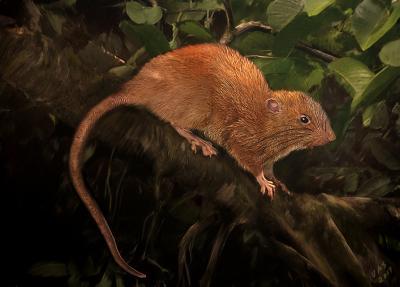 Giant Rat Illustration