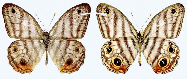 Rare Amazonian Butterfly Named After British National Treasure Sir David Attenborough (1/3)