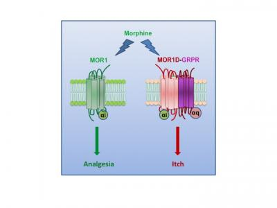 Pain/Itch Interact with Different Receptor Variants