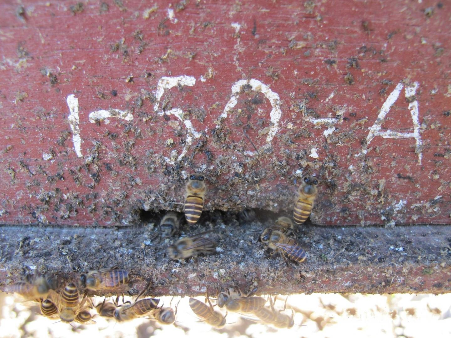 Fecal spotting and honey bees at hive entrance