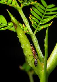 <i>Acacia</i> Ants Vertical 2