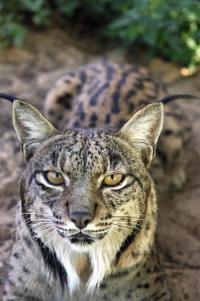 Iberian Lynx (3 of 3)