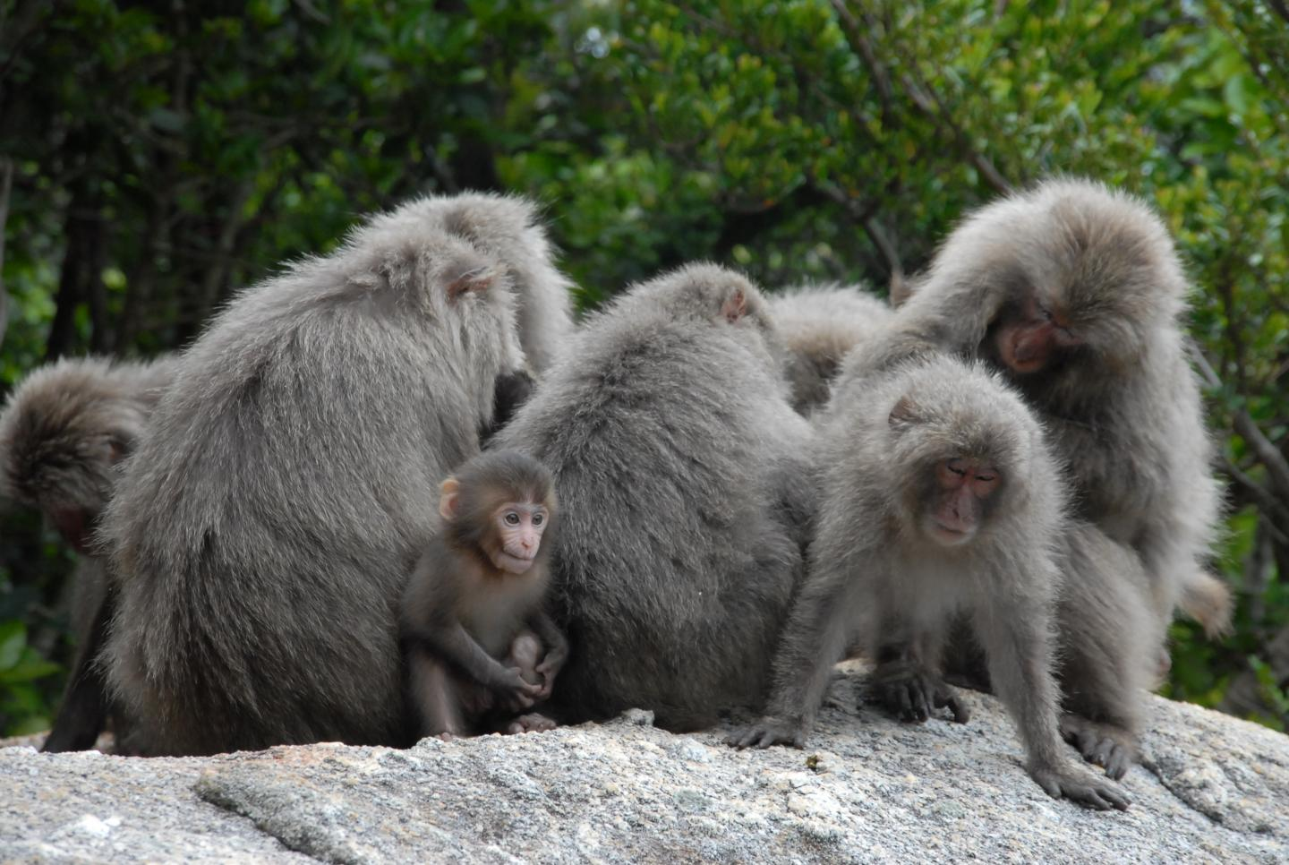 Japanese Macaques in a Social Group