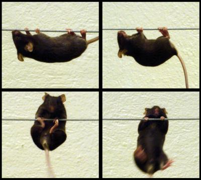 Different Views of a Dystrophic Mouse during the Wire Test