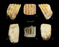 Elephant tooth