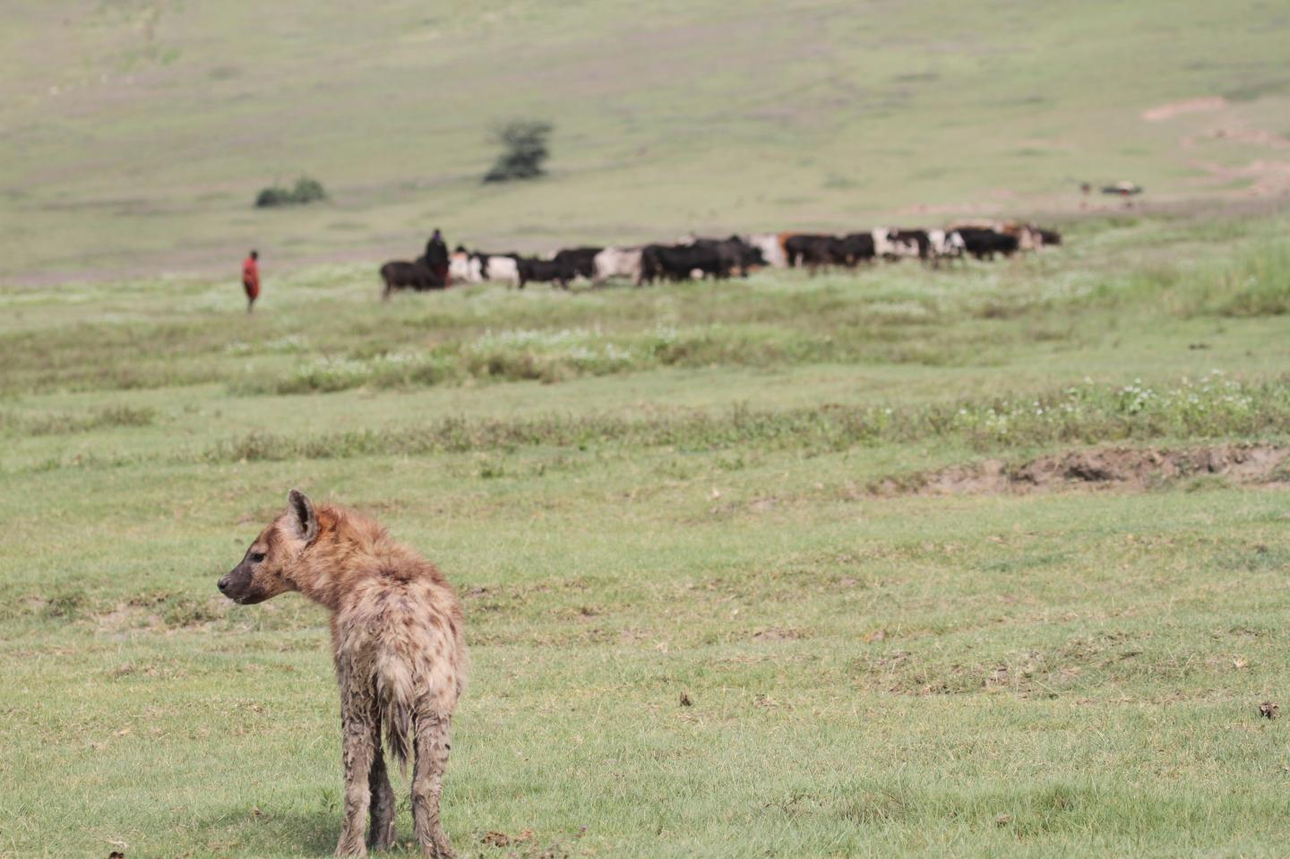 Spotted hyena with Maasai pastoralist and cattle in Ngorongoro Crater