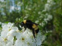 Yellow-banded bumblebee