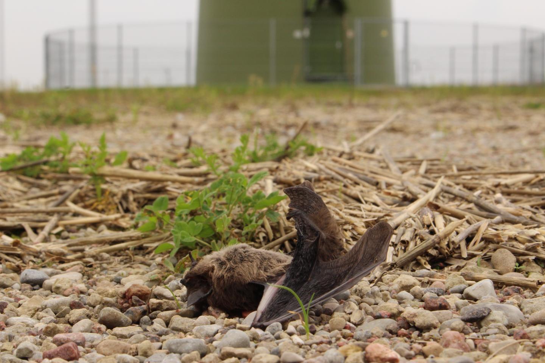 Nathusius' Bat (<i>Pipistrellus nathusii</i>) Killed by a Wind Turbine