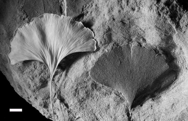 Living and Fossilized Ginkgo Leaf