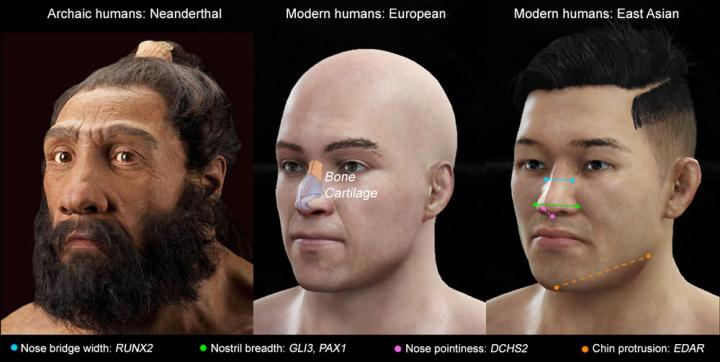 Specifc Genes Drive the Shape of Noses