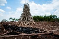 Cassava Stakes