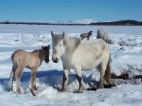 Horses Compressing the Snow