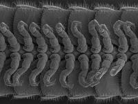 Underside of the New Millipede Species Showing Its Legs