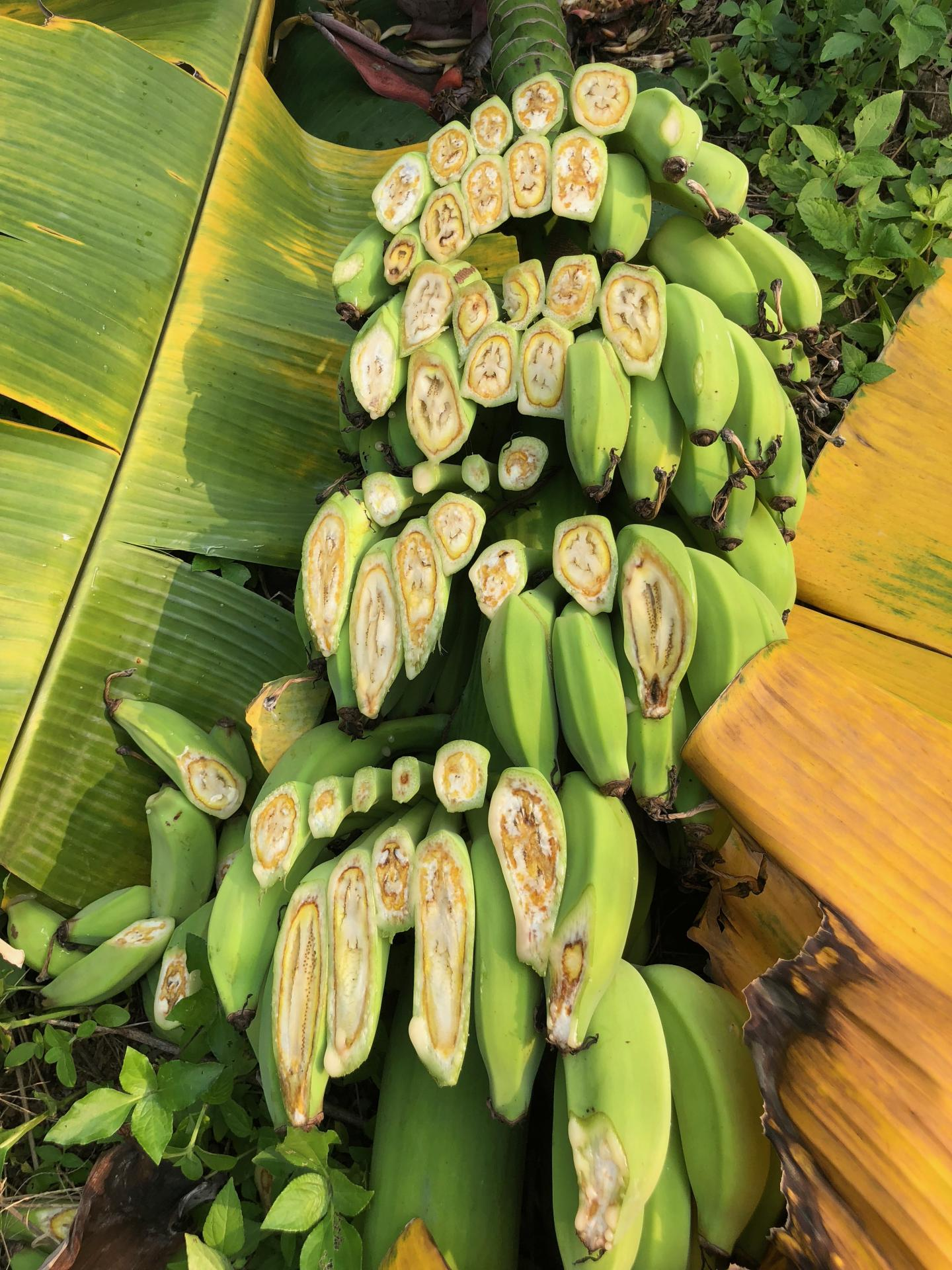 Bananas with Fusarium Wilt.