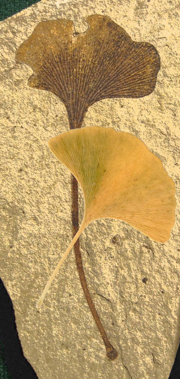 <i>Ginkgo biloba</i> Leaves Fanning Past and Present