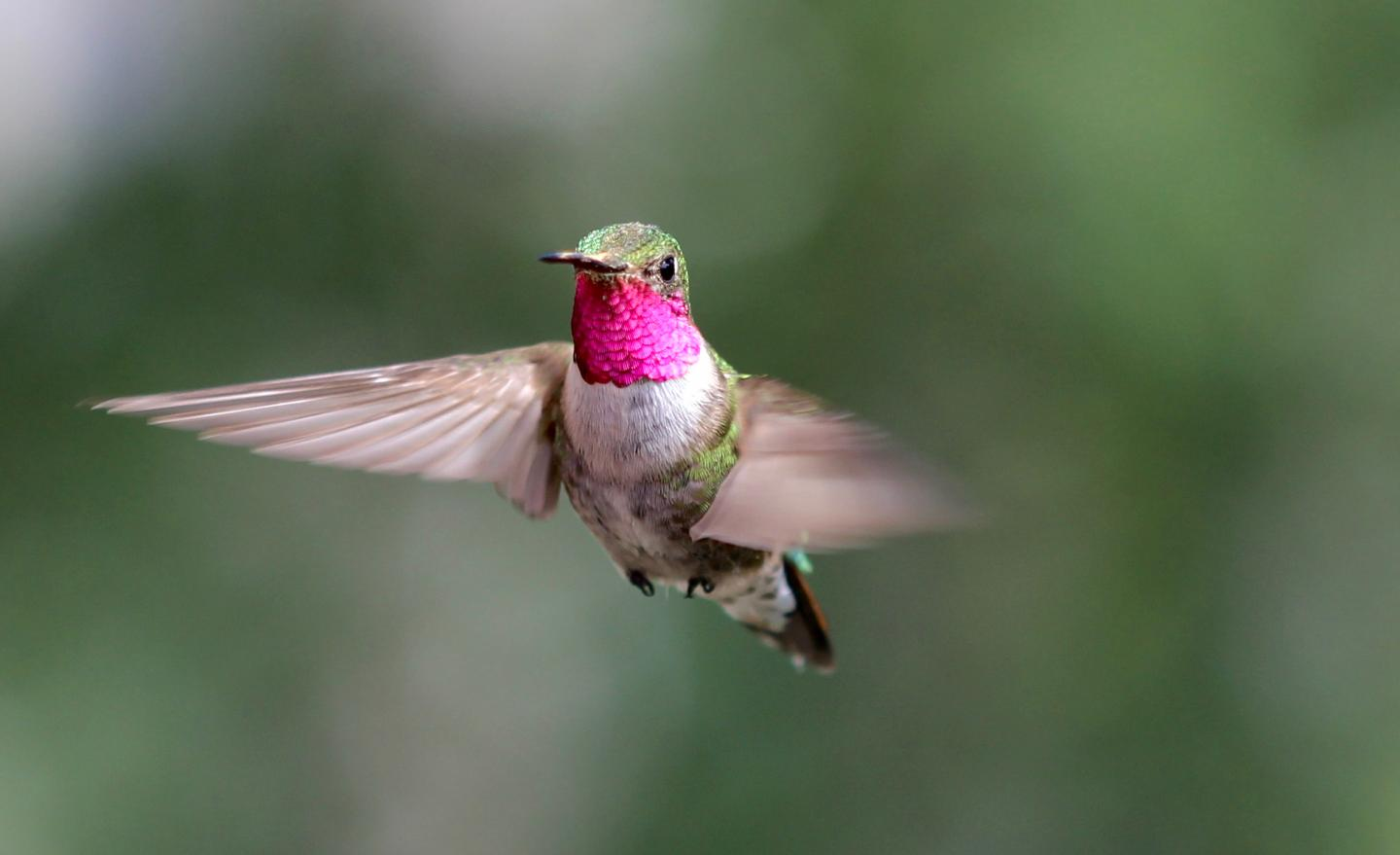 Broad-Tailed Hummingbirds Reveal New Dimensions of Bird Vision