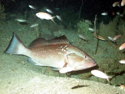 Red Grouper (1 of 2)