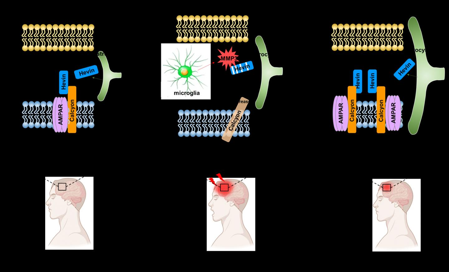 Mechanism of action of inflammatory activation enzymes