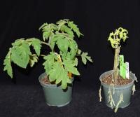 Ptr1 tomato plant