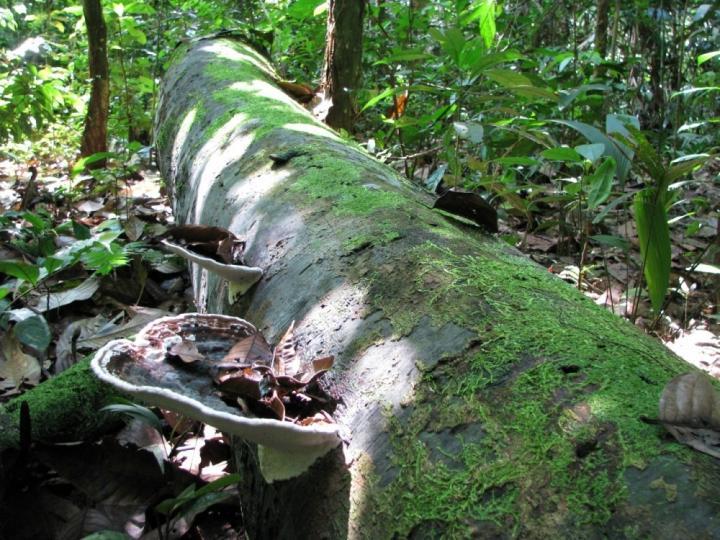 A dead tree trunk in the Peruvian Amazon