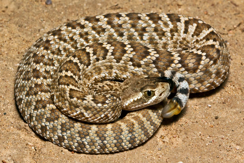 Mojave Rattlesnake (<i>Crotalus scutulatus</i>)