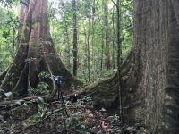 Huge tree drunks in dense forest with camera set up on tripod in the foreground