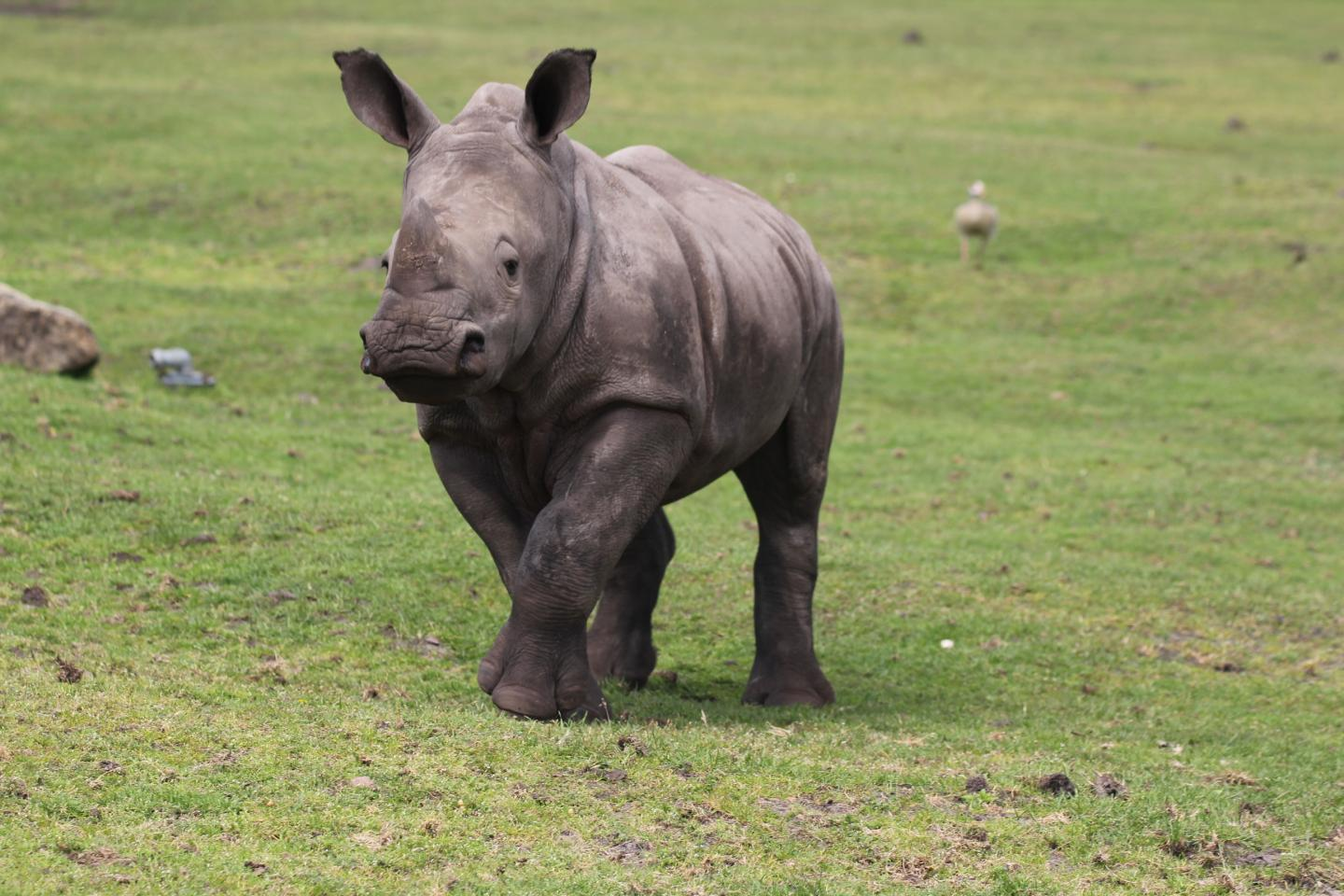 Young Southern White Rhinos May Produce Four Distinct, Context-Dependent Calls