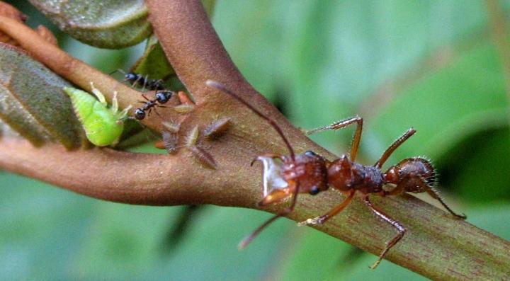 Tending Ants
