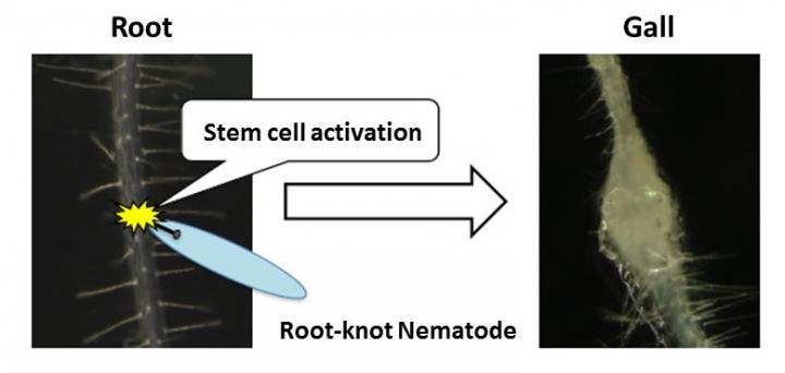 Root-Knot Nematodes Activate Plant Stem Cells