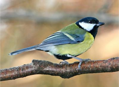 Great Tit in Wytham Woods