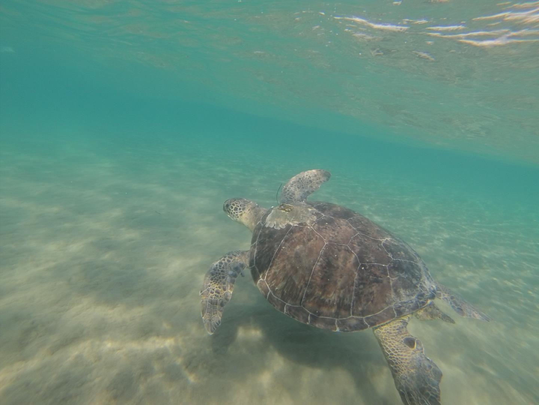 Green Turtle Swimming off Cyprus