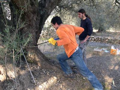 Researchers Taking Samples of the Trunk of an Olive Tree