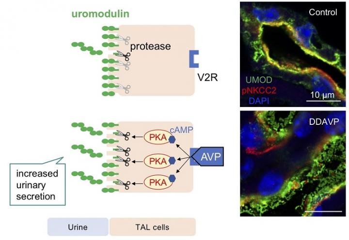 Vasopressin Induces Urinary Uromodulin Secretion by Activating Protein Kinase A