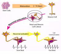 Nerve Cell-Heart Cell Connections Benefit Both Types of Cells