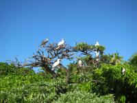 Red Footed Boobys roosting on a rat free island in the Indian Ocean