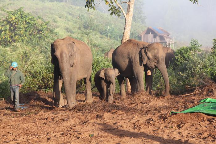 Semi-captive Asian elephants