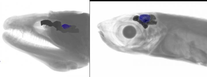 巨大ウツボ(学術名 Gymnothorax javanicus)(左)とハードヘッ&#1